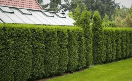Быстрорастущая многолетняя живая изгородь