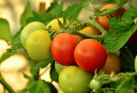 Когда прекращать поливать помидоры