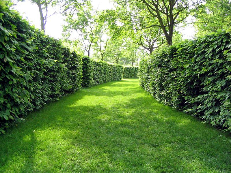 Живая изгородь из кустарников и деревьев на участке