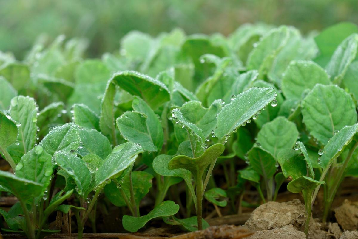Капуста из рассады: выращиваем самостоятельно