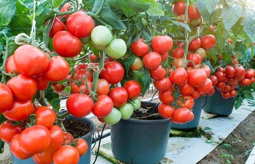 Чем подкармливать помидорную рассаду: оригинальные решения