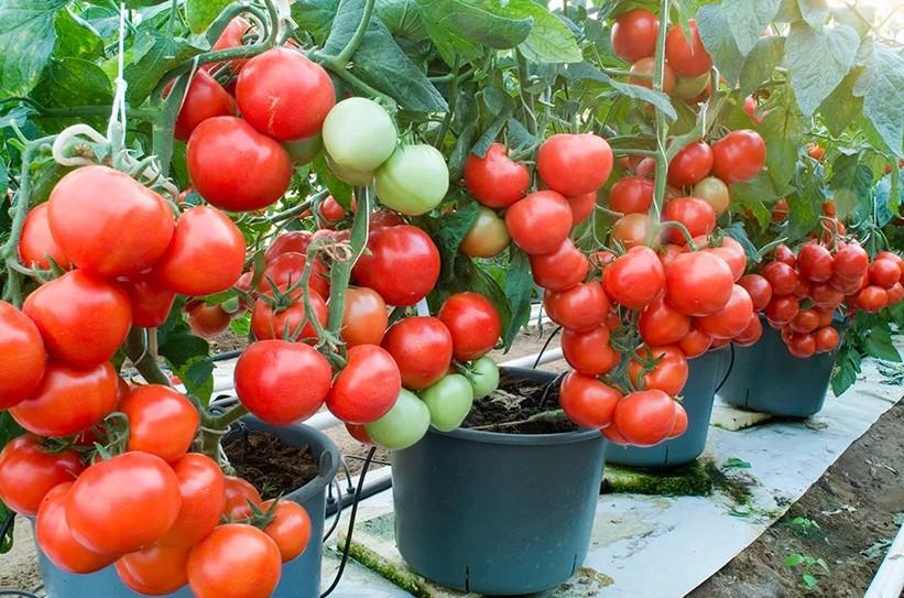 чем подкармливать помидорную рассаду