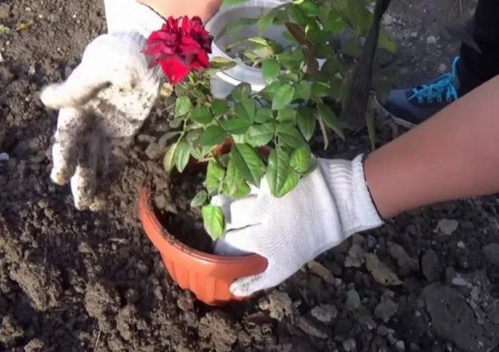 Правильное выращивание миниатюрной розы