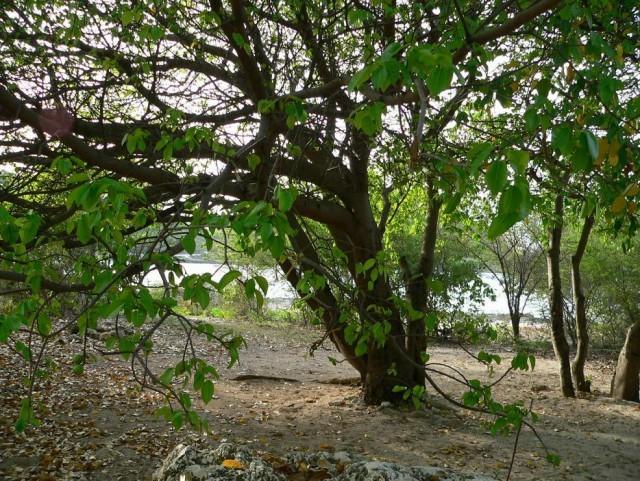 Дерево, которое лучше не размещать на дачном участке